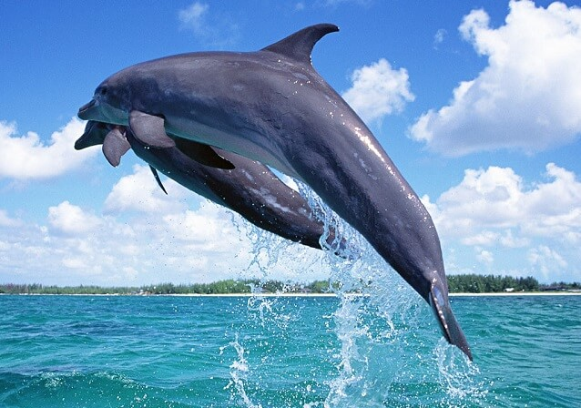dolphin-wallpaper-1